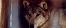 Howling (The Killer Wolf) movie photo